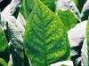 Folha de tabaco